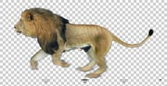 Lion Runs Stock Footage