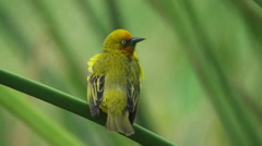 6K R3D - Cape Weaver - male doing courtship display. Africa bird mate mating Stock Footage