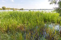 Reeds and Water Lilies in the River - stock photo