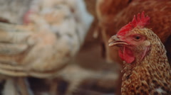 Close-up Shot of Organic Chicken in a Farm Leading to a Pile of Wood Logs - stock footage