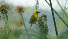 6K R3D - Cape Weaver - destroying a nest 9, pulling strands, flies off. Africa Stock Footage