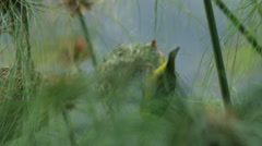 6K R3D - Cape Weaver - destroying a nest 10, pulls nest off and falls. Africa 4K Stock Footage