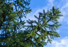 Spruce branch with sprigs against the blue sky Stock Photos