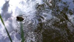 Cute little duck swimming near shore. Stock Footage