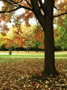 Stock Photo of Maple tree in autumn park