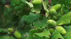 Green Acorns on Oak tree Stock Footage