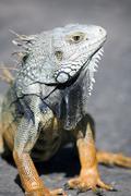 Green male iguana Stock Photos