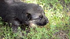 Three German Shepherd puppy whine Stock Footage