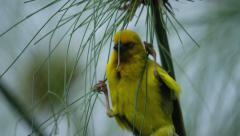 6K R3D - Cape Weaver - preparing to build a nest. Bird africa small cute 4K uhd Stock Footage