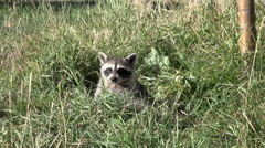 Raccoon wildlife in orchard grass 4K - stock footage