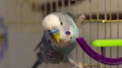 Male blue budgerigar playing with a bell on the cage Stock Footage