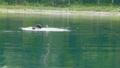 Adult and juvenile loon fishing for food. - stock footage