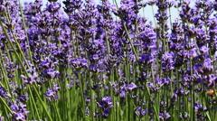Lavender Flower Field In Summer Stock Footage