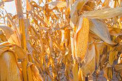 Ripe corn on stalk in maize field Stock Photos