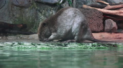 Beaver By Water Stock Footage