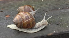 Two snails in tight connection Stock Footage
