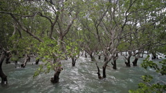 Massive mangrove trees on Philippines, into sea waves. Stock Footage