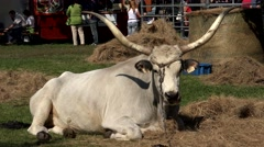 Bull with large horns. 4K - stock footage