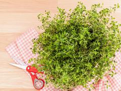 Alternative mediterranean medicinal plants lemon thyme for medicinal and culi Stock Photos