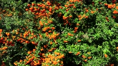 Sea buckthorn. Bush with orange berries. 4K Stock Footage