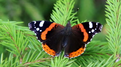 Dark butterfly red admiral - stock footage