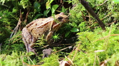 Forest frog in native habitat Stock Footage