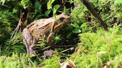 Forest frog in native habitat Arkistovideo