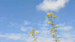 Wild Sunflowers and Cloud Wind Stock Footage