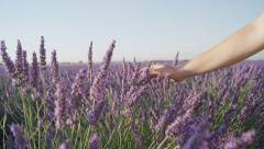 CLOSE UP: Hand touching lavender flowers in big purple field - stock footage