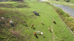 Stock Video Footage of Herd of goats graze grass on the meadow by the river, high angle view.