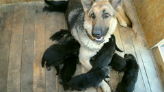 Shepherd big dog sitting in a box, many puppies running - stock footage