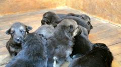 Nine puppies German shepherd dog in the booth Stock Footage