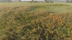 Phragmites Marsh Aerial Video Stock Footage