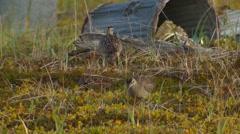 Whimbrel Flock Feeding on Tundra in Eskimo Village Stock Footage