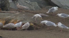 Flock of Seagulls Feeding on Whale Carcass on Shore Stock Footage