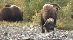 Musk Ox Bull and Herd Walking on Riverbed in Alaska Stock Footage