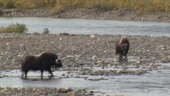 Muskox Walking in River in Tundra in Alaska Stock Footage