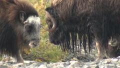 Musk Ox in Alaska from Ground Level Stock Footage