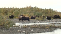 Musk Ox Herd on River Delta Near Nome Alaska Stock Footage