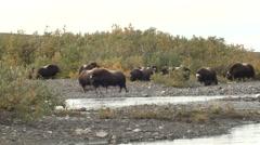 Musk Ox Herd on River Delta Near Nome Alaska Stock Footage