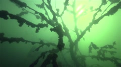 Big tree deep under water with beautiful formations on the branches Stock Footage