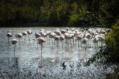 Pink Flamingo (Phoenicopterus ruber) in Camargue, France Stock Photos