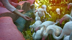 Tourist Feeding Flamingos at a Popular Petting Zoo Stock Footage