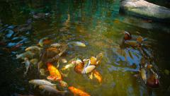 Mandarin Ducks and Japanese Koi Competing for Hand Thrown Treats Stock Footage