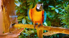 Blue and Gold Macaw Accepting Food from Tourist's Open Hand - stock footage