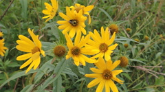 Wild Sunflowers with Bumblebee Stock Footage
