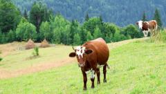 Rural landscape with cow grazing at summer meadow Stock Footage
