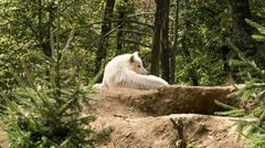 White wolf lying on the hill watching who disturbs him Stock Photos