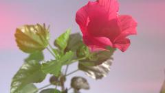 Red Hibiscus Flower Blooming in Time-lapse. Stock Footage