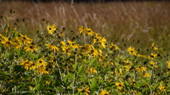 Wild Sunflowers in The Wind Stock Footage